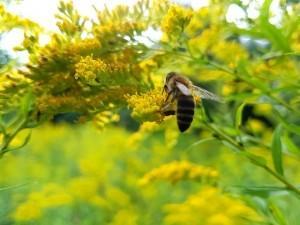 Biene Umweltallianz Sachsen